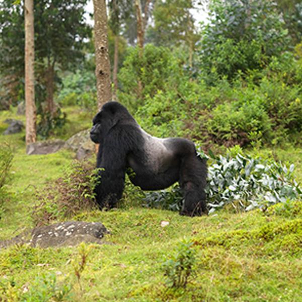 Gorilla Trekking tour and hiking Karisimbi volcano, Rwanda safari