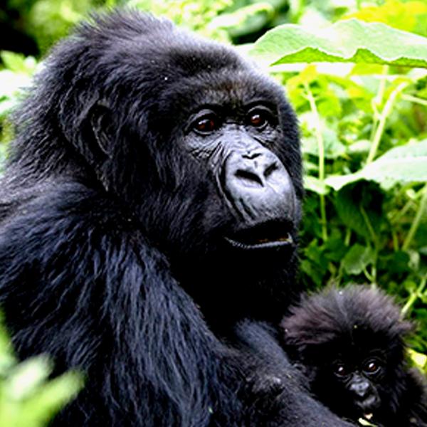 5 Days Rwanda Gorilla Safari & Chimpanzee Trekking Tour