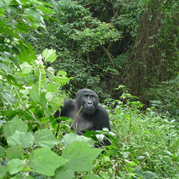 15 DAYS UGANDA WILDLIFE SAFARI, GORILLA TREKKING  AND CHIMPANZEE TRACKING TOUR.