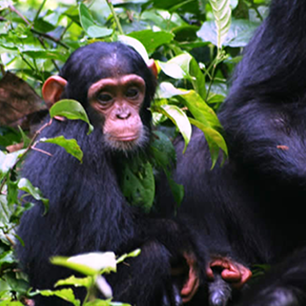 21 Days Uganda and Rwanda Gorillas, Chimpanzees, and Wildlife  Adventure Safari