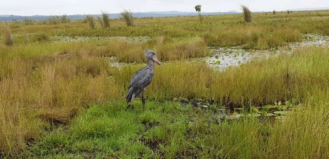 Mabamba Bay Eco Tourism Site; Mabamba Swamp