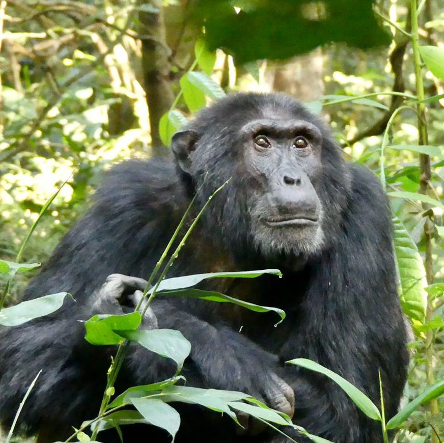 2 Day Nyungwe Forest Chimpanzee tracking