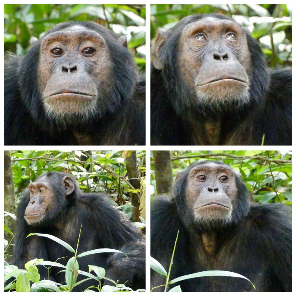 3 Day Chimpanzee Tracking in Kibale National Park