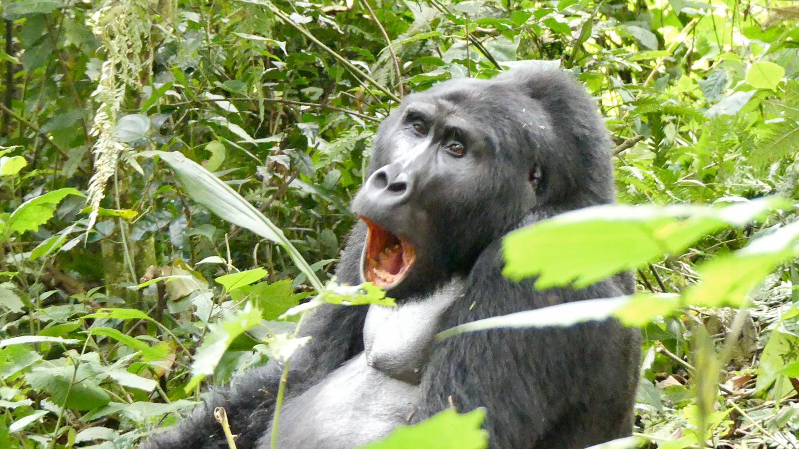 3 Day Uganda Gorilla Tour Bwindi Impenetrable Forest