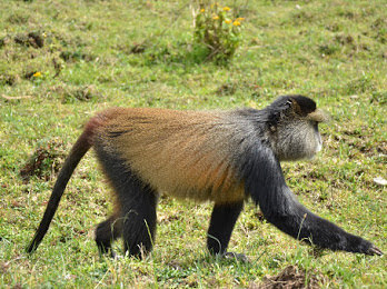2 Days Rwanda Safari with Golden Monkeys Trekking