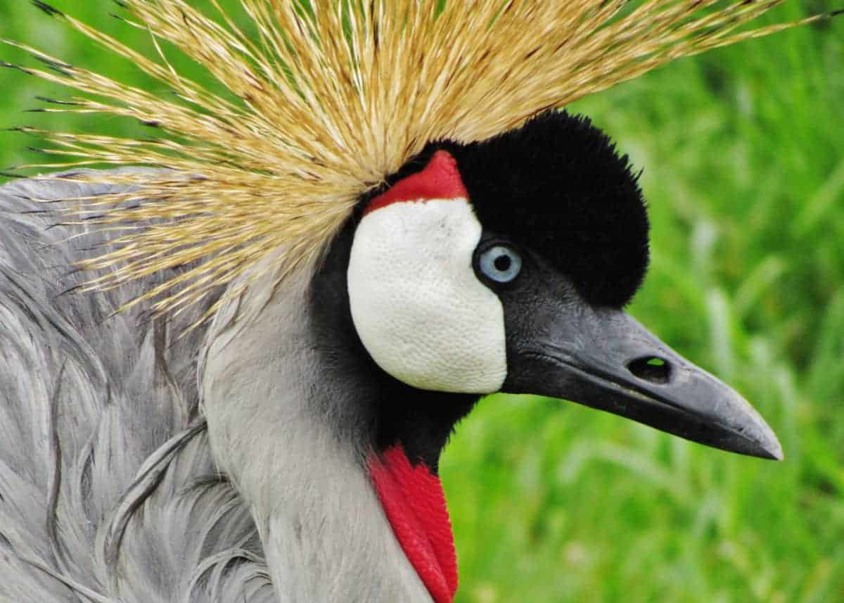 Facts about Uganda's Crested Crane
