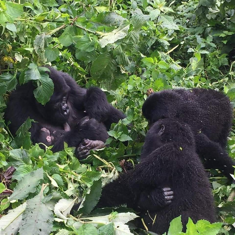 5 day uganda gorillas & wildlife tour | uganda safari tours | bwindi impenetrable forest national park, queen elizabeth national park