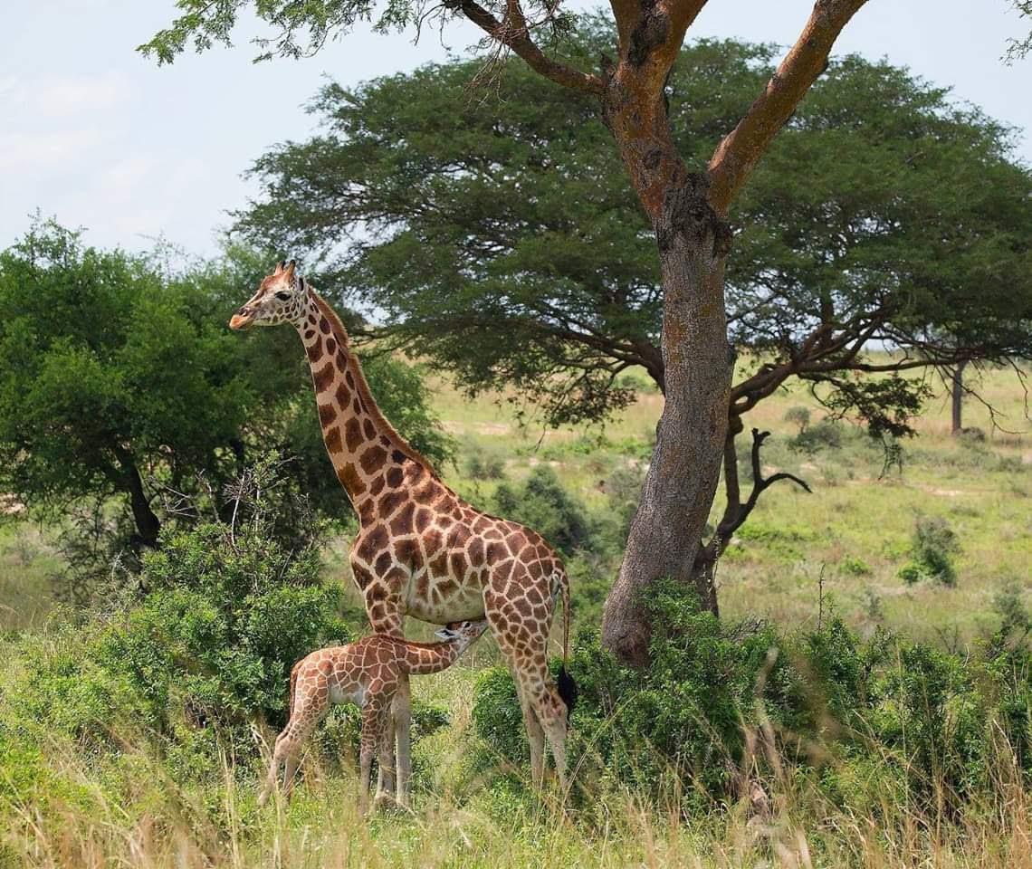16 Days Uganda adventure Safari Tour, Best of Uganda Safari Adventure, Uganda Safaris, Hiking, Wildlife, Gorillas, Chimps.