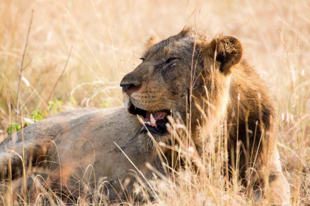 3 Days Lion Tracking Safari Experience, Lion research, Predator tracking, Uganda Wildlife Tour to Queen Elizabeth National park.